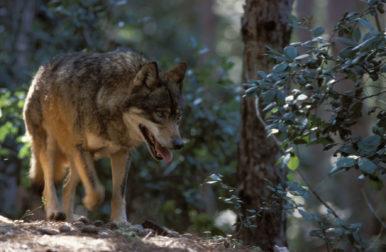 (Ita) Animali di Calabria