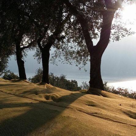 Camminata tra gli olivi nelle terre di Calabria