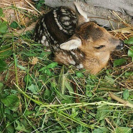 Saracena | Soccorso un cucciolo di capriolo