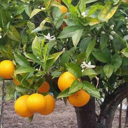 L'arancio tardivo e il verdone nell'Arca del Gusto di Slow Food