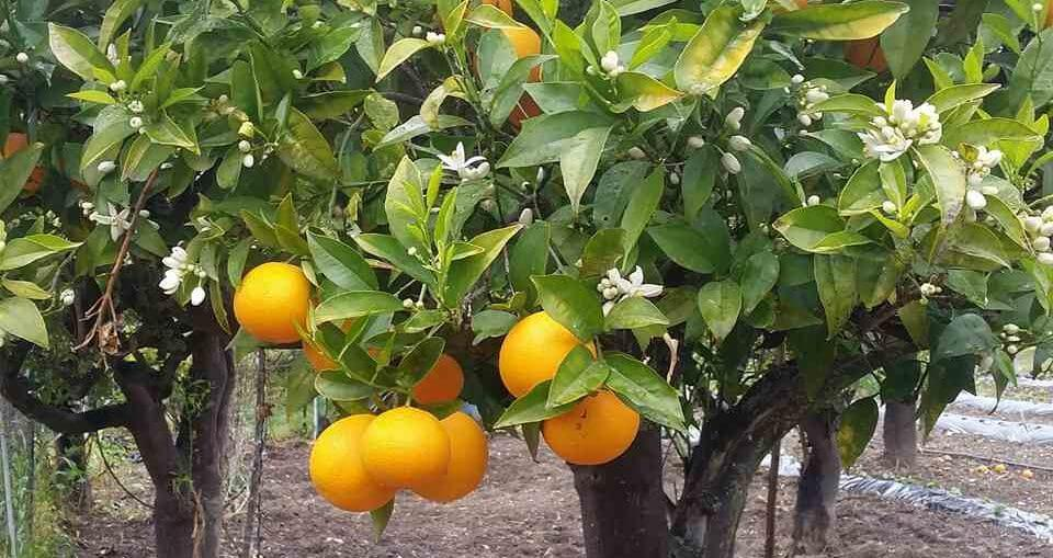 arancio biondo tardivo Trebisacce