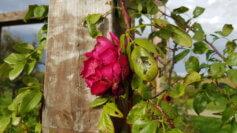 rosa al parco ecolandia